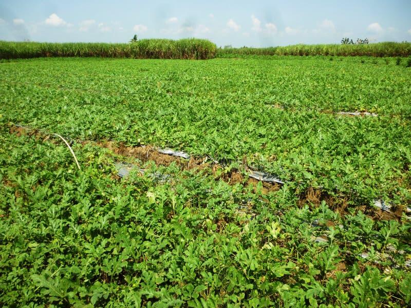 Giacimento dell'anguria di agricoltura fotografia stock libera da diritti