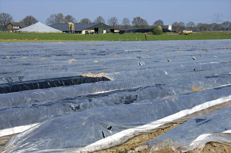 Giacimento dell'asparago, azienda agricola, paesaggio rurale fotografie stock