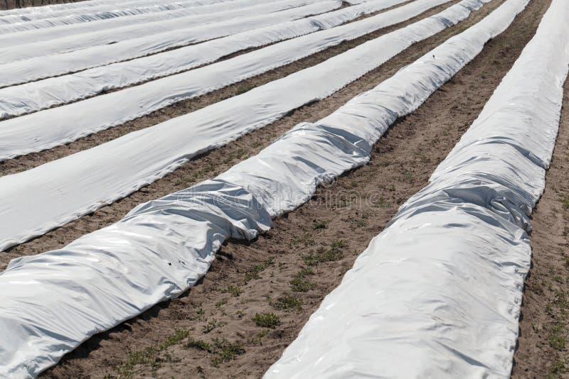 Giacimento dell'asparago coperto di strati bianchi immagine stock libera da diritti