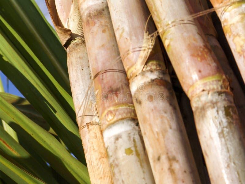 Giacimento della canna da zucchero immagine stock