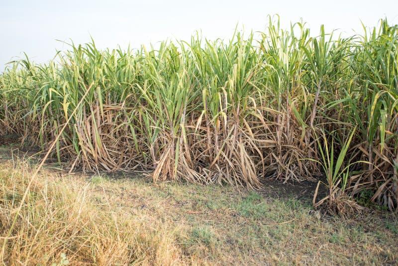 Giacimento della canna da zucchero immagini stock libere da diritti