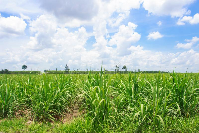 Giacimento della canna da zucchero in cielo blu in Tailandia fotografia stock libera da diritti
