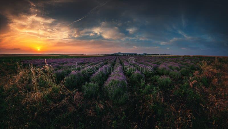 Giacimento della lavanda al tramonto Giacimenti profumati di fioritura del fiore della lavanda nelle righe infinite fotografie stock libere da diritti