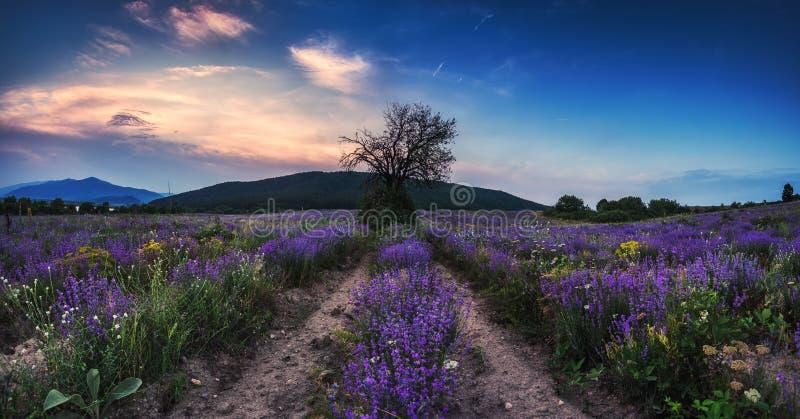Giacimento della lavanda al tramonto Giacimenti profumati di fioritura del fiore della lavanda nelle righe infinite fotografia stock