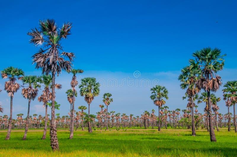 Giacimento della palma da zucchero fotografia stock libera da diritti