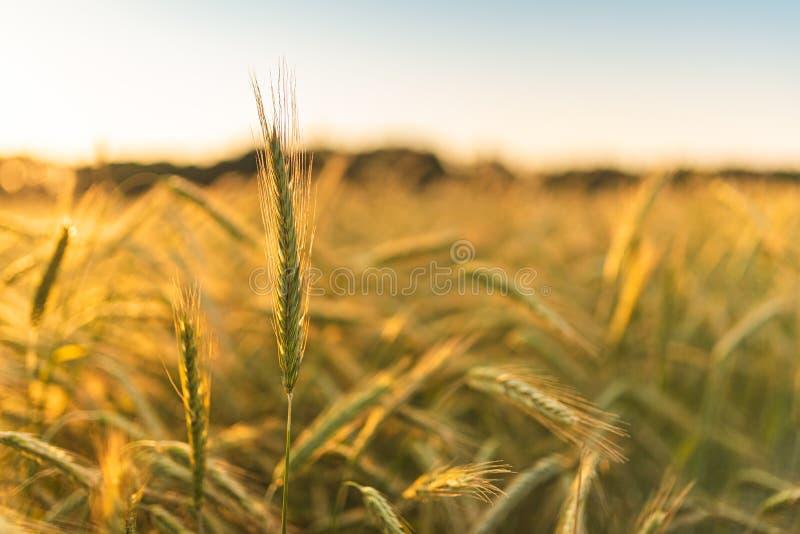 Giacimento della segale del grano Orecchie della fine dorata del grano su Bello paesaggio di tramonto della natura fotografie stock libere da diritti