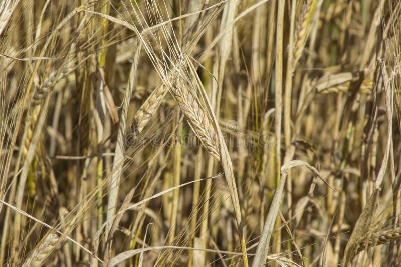 Giacimento della segale Orecchie della fine dorata della segale su Bello paesaggio di tramonto della natura Paesaggio rurale nell immagine stock libera da diritti