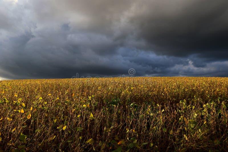 Giacimento della soia pronto ad essere raccolto e una cattiva venuta della tempesta fotografie stock libere da diritti
