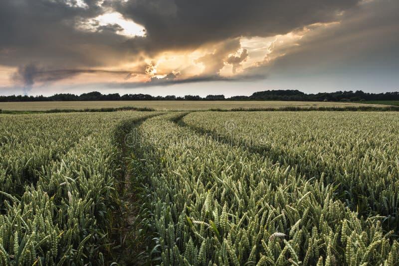 Giacimento di cereale immagine stock libera da diritti