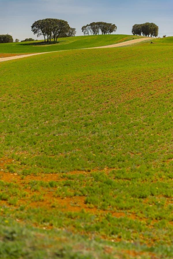 Giacimento di cereale e querce di leccio immagini stock libere da diritti