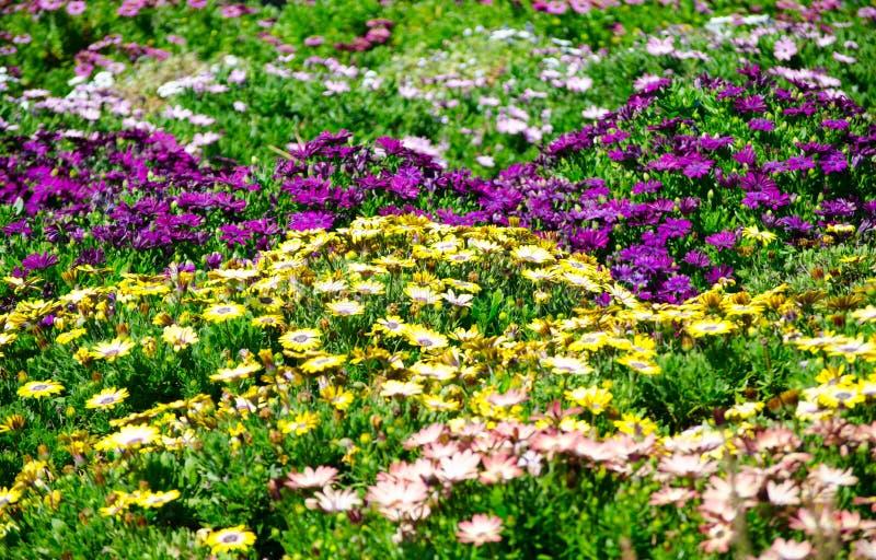 Giacimento di fiore del ` di Daisy Bush Serenity del ` di osteospermum nel colore misto in una stagione primaverile ad un giardin fotografia stock libera da diritti