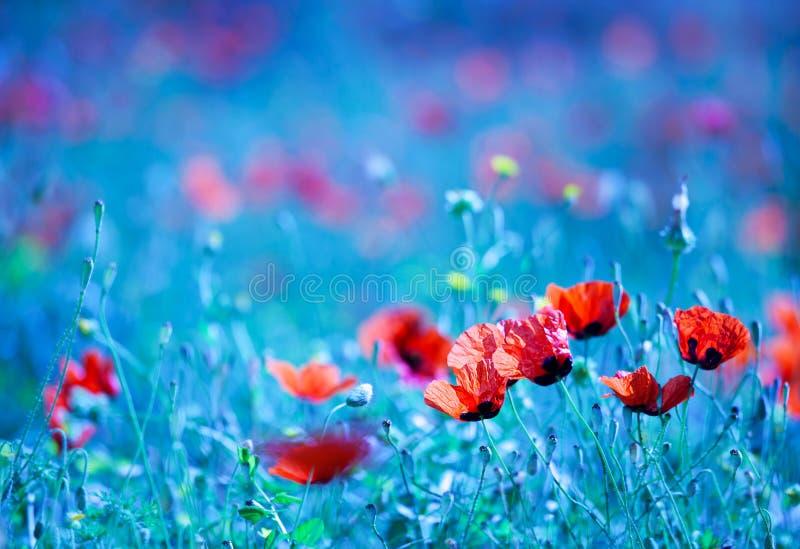 Giacimento di fiore del papavero alla notte fotografia stock libera da diritti