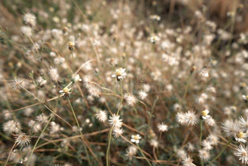 Giacimento di fiore della camomilla nell'ambito di luce solare calda Fondo toccante immagini stock libere da diritti
