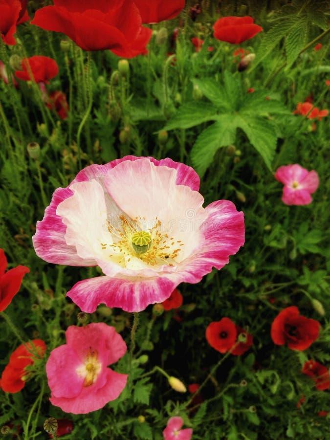 Giacimento di fiore di estate immagine stock