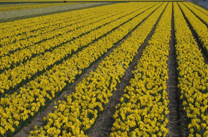 Giacimento di fiore nei Paesi Bassi fotografia stock libera da diritti