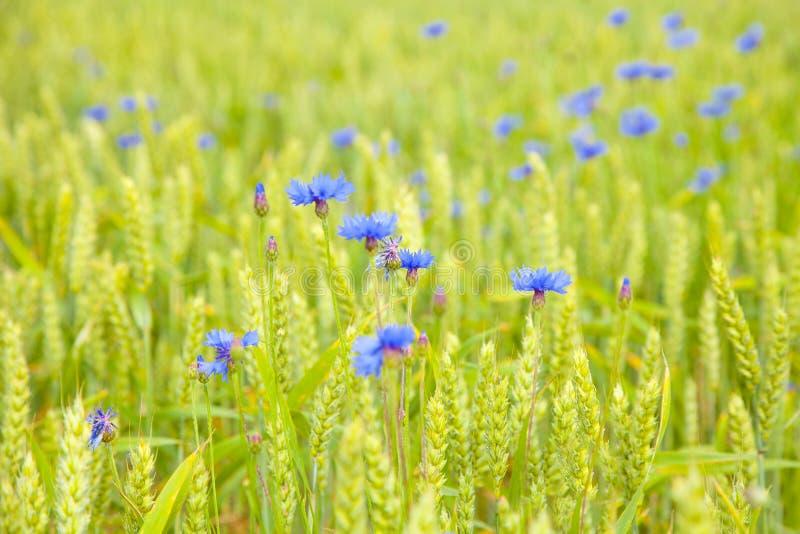 Giacimento di fiori dei fiordalisi immagine stock libera da diritti