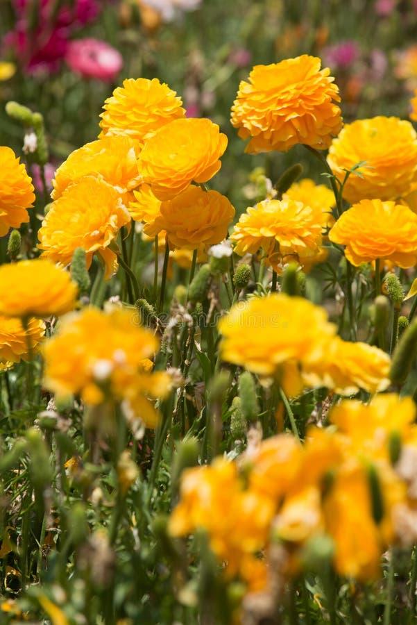 Giacimento di fiori del ranuncolo fotografia stock