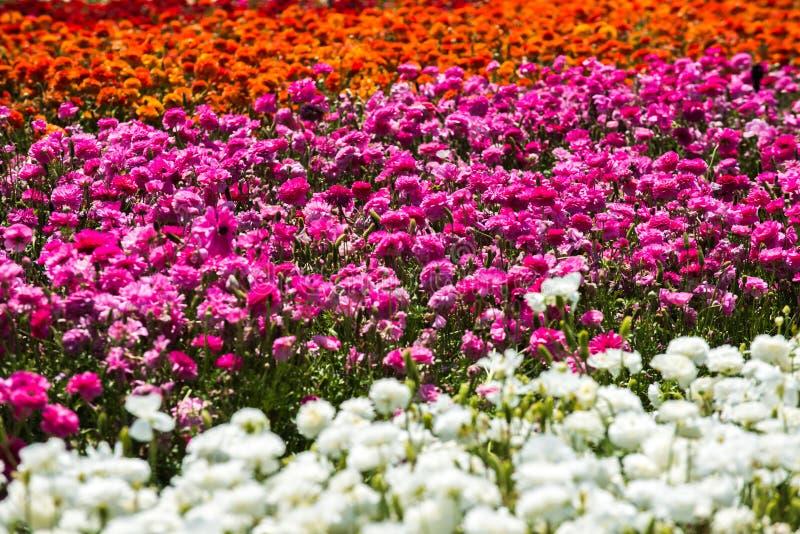 Giacimento di fiori del ranuncolo fotografia stock libera da diritti