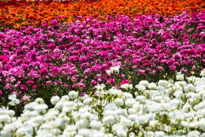 Giacimento di fiori del ranuncolo immagine stock libera da diritti