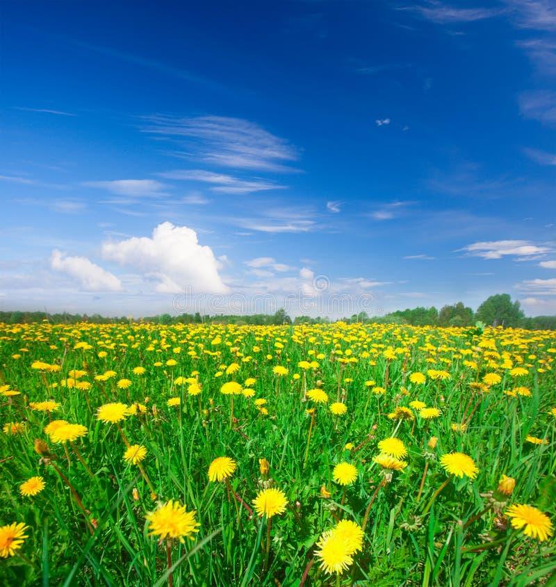 Giacimento di fiori giallo fotografia stock