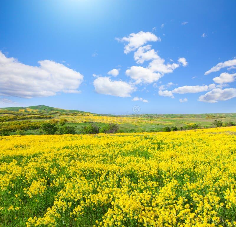 Giacimento di fiori giallo sotto cielo blu fotografie stock libere da diritti