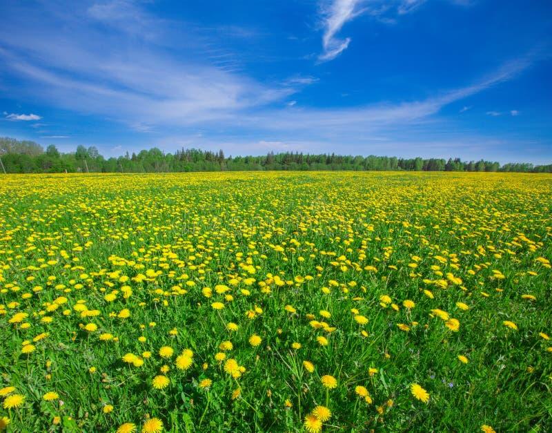 Giacimento di fiori giallo sotto il cielo nuvoloso blu fotografie stock libere da diritti