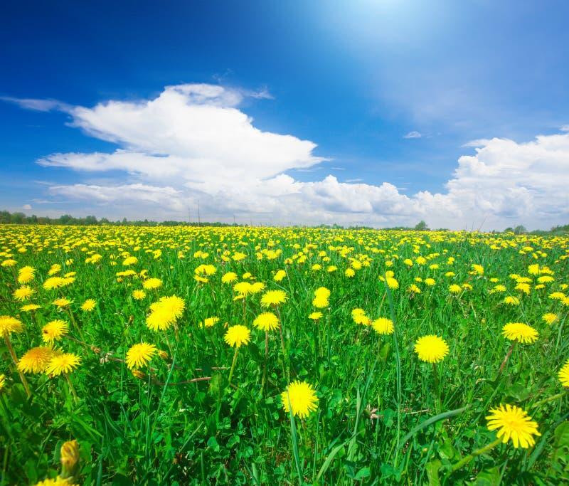 Giacimento di fiori giallo sotto il cielo nuvoloso blu fotografia stock libera da diritti