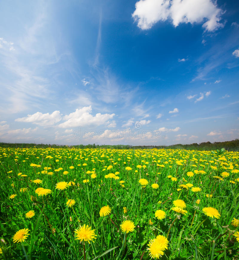 Giacimento di fiori giallo sotto il cielo nuvoloso blu immagini stock