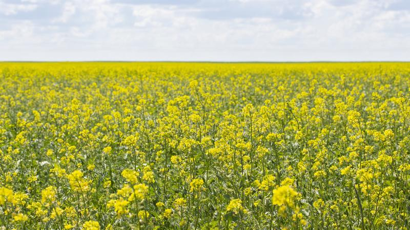 Giacimento di fioritura del canola, panorama del paesaggio dell'insegna della carta da parati del fondo Cultura agraria del seme  fotografia stock