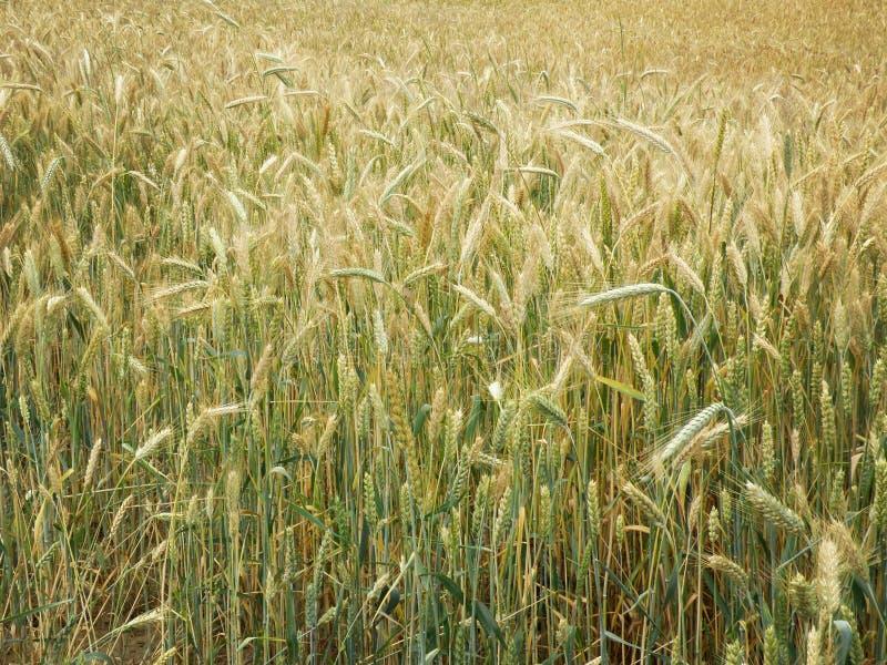 Giacimento di grano agricolo alla primavera immagini stock