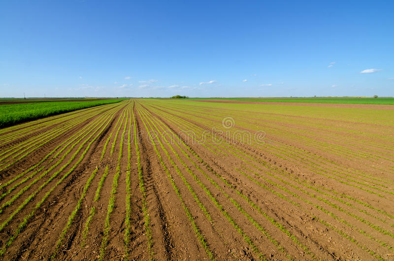 Giacimento di grano agricolo il giorno di molla soleggiato fotografia stock libera da diritti