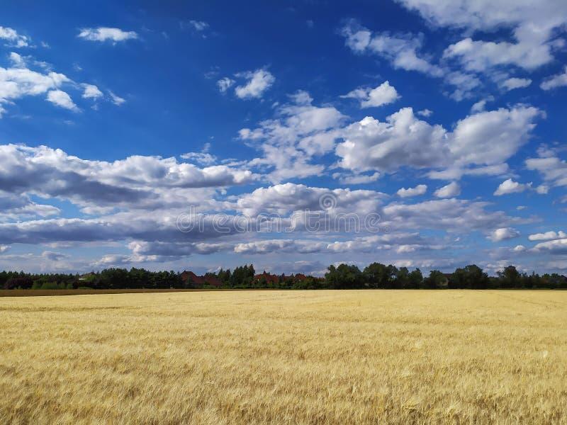 Giacimento di grano con con il bello, cielo nuvoloso fotografie stock libere da diritti