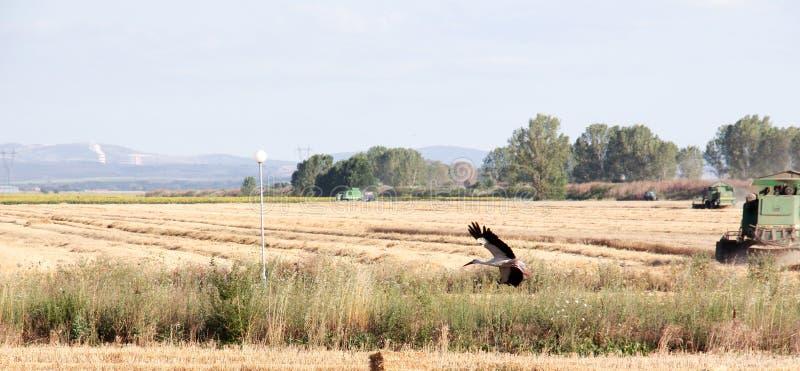 Giacimento di grano di estate dopo un raccolto fotografie stock