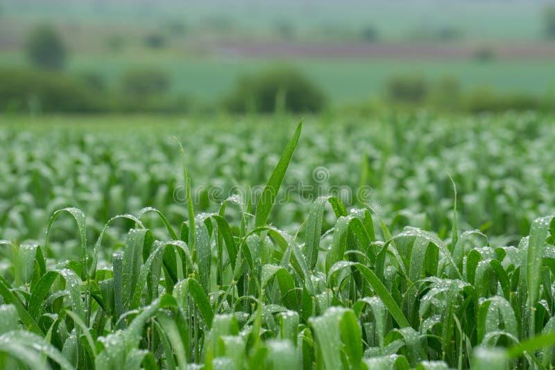 Giacimento di grano dopo pioggia fotografie stock
