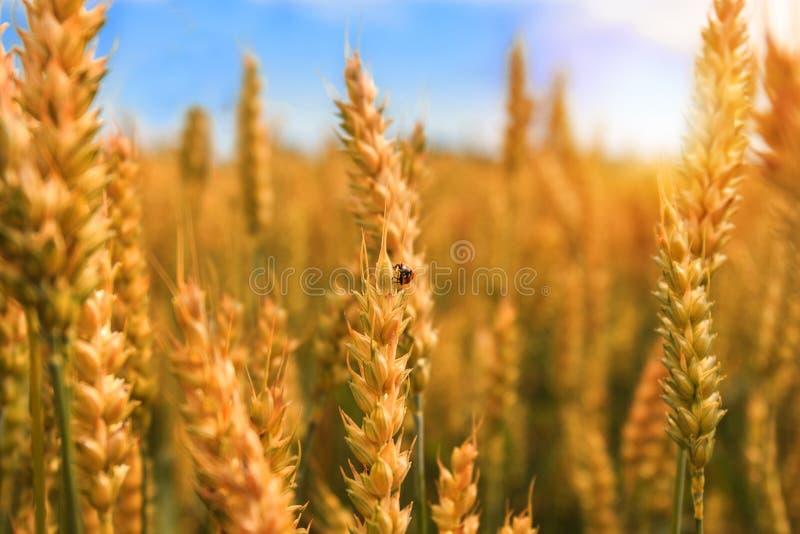 Giacimento di grano dorato con la coccinella fotografia stock