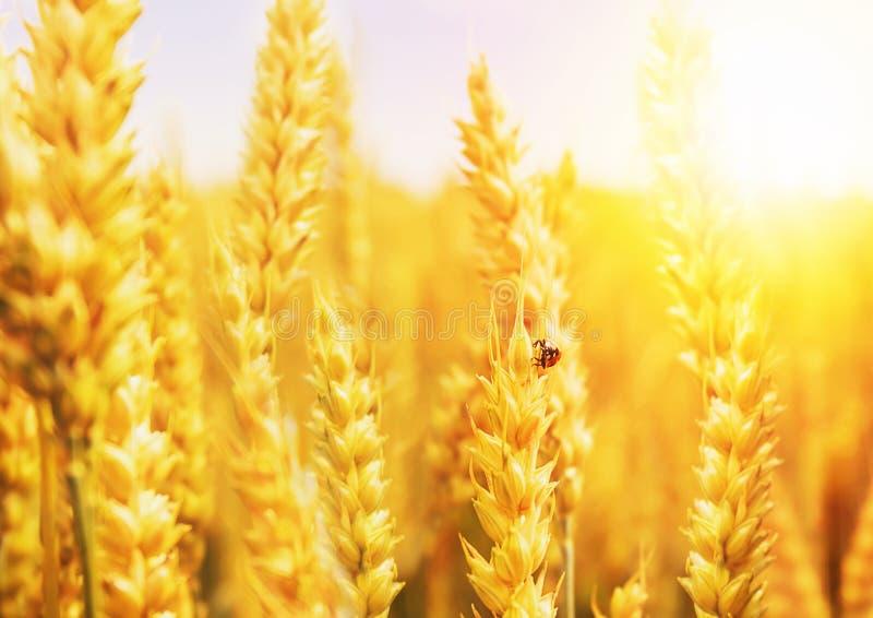 Giacimento di grano dorato con la coccinella immagine stock