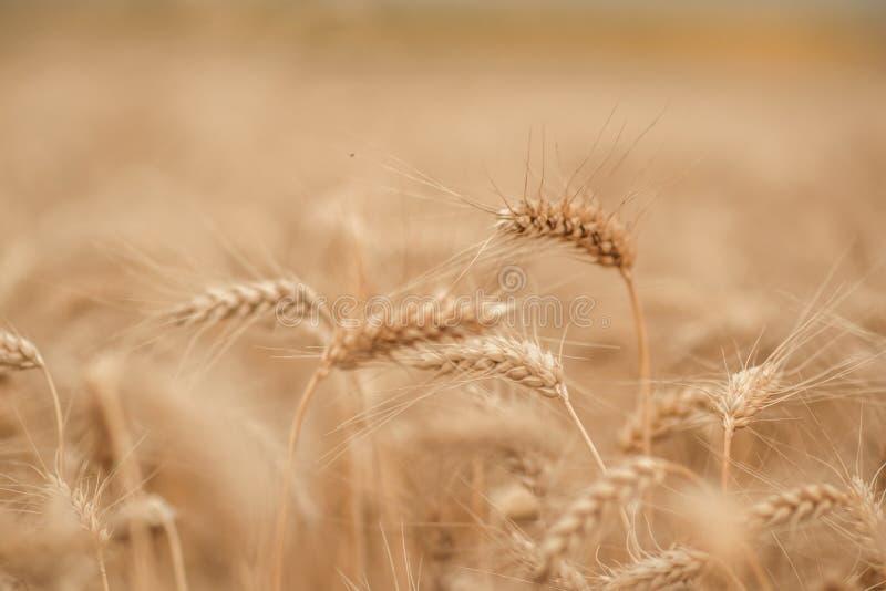 Giacimento di grano dorato e giorno soleggiato fotografia stock