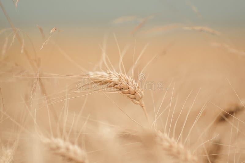Giacimento di grano dorato e giorno soleggiato immagine stock