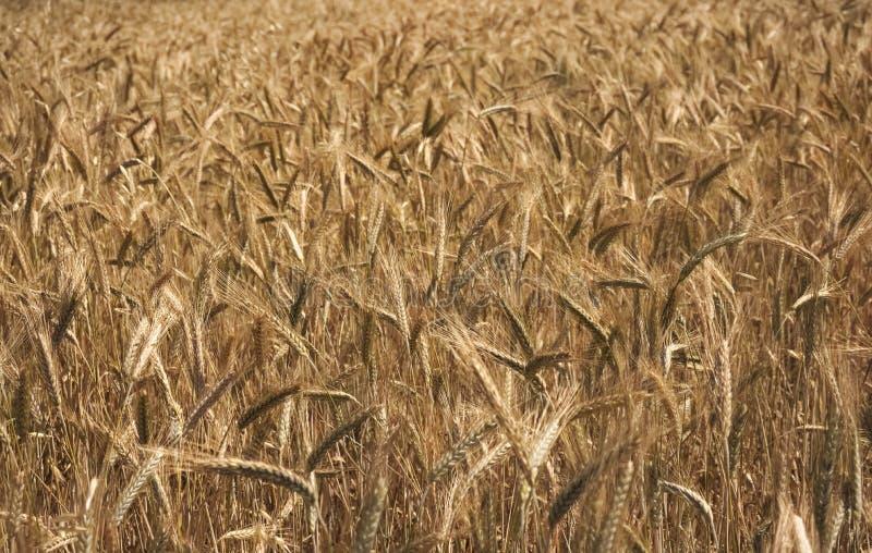 Giacimento di grano dorato e giorno soleggiato fotografia stock libera da diritti