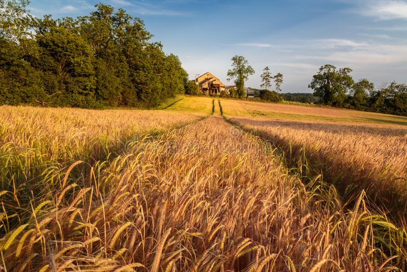 Giacimento di grano dorato vasto & fertile fotografia stock