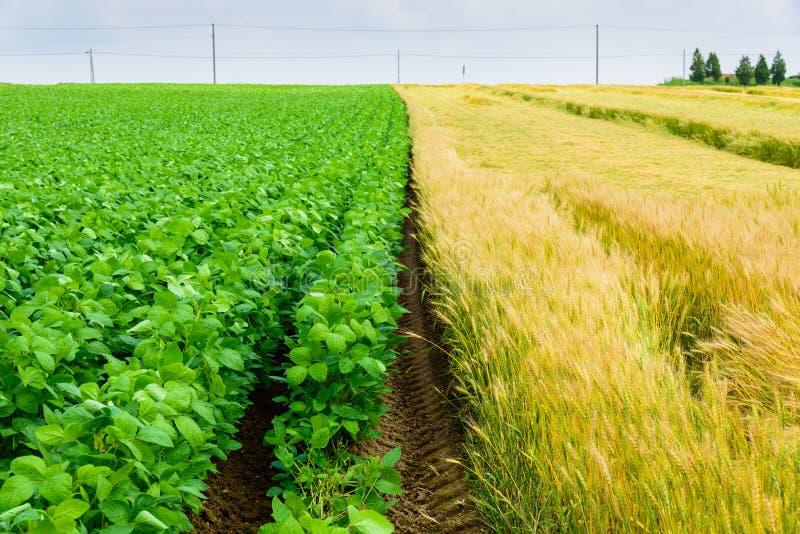 Giacimento di grano e della patata immagine stock