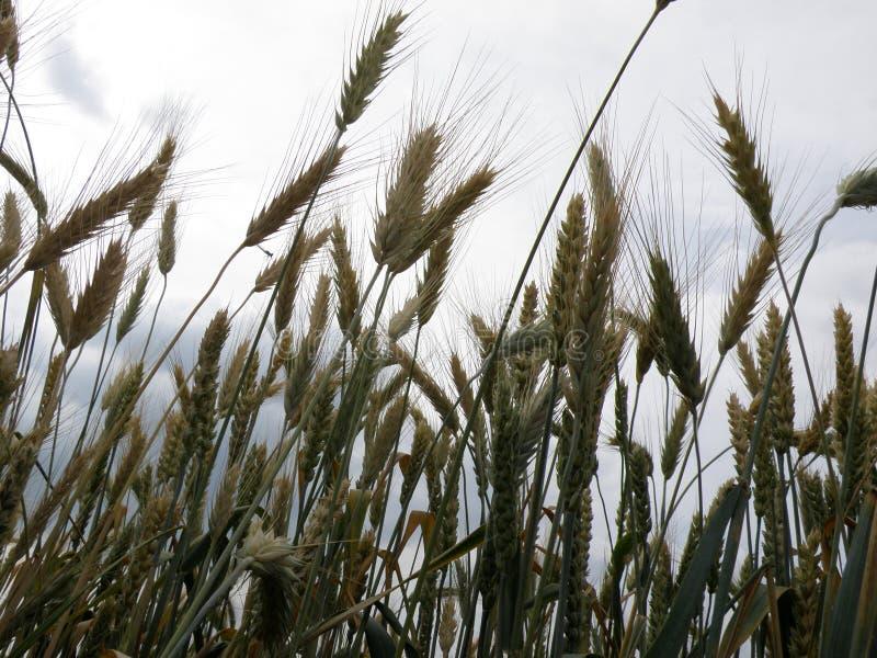 Giacimento di grano e fine del cielo su fotografie stock