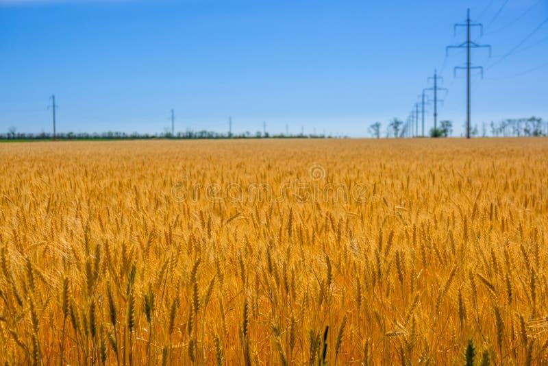 Giacimento di grano e linea elettrica dorati immagini stock