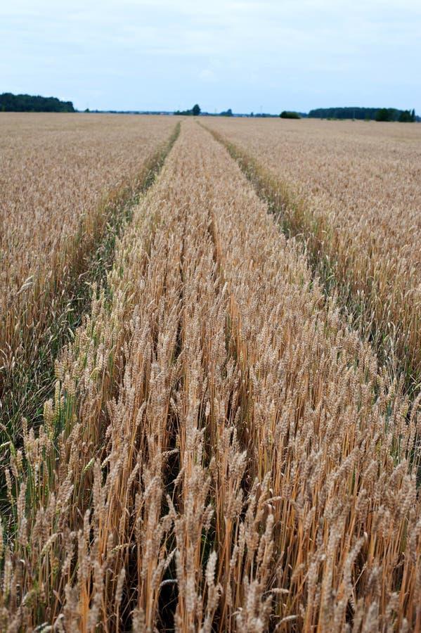 Giacimento di grano e percorso, modo su  fotografia stock