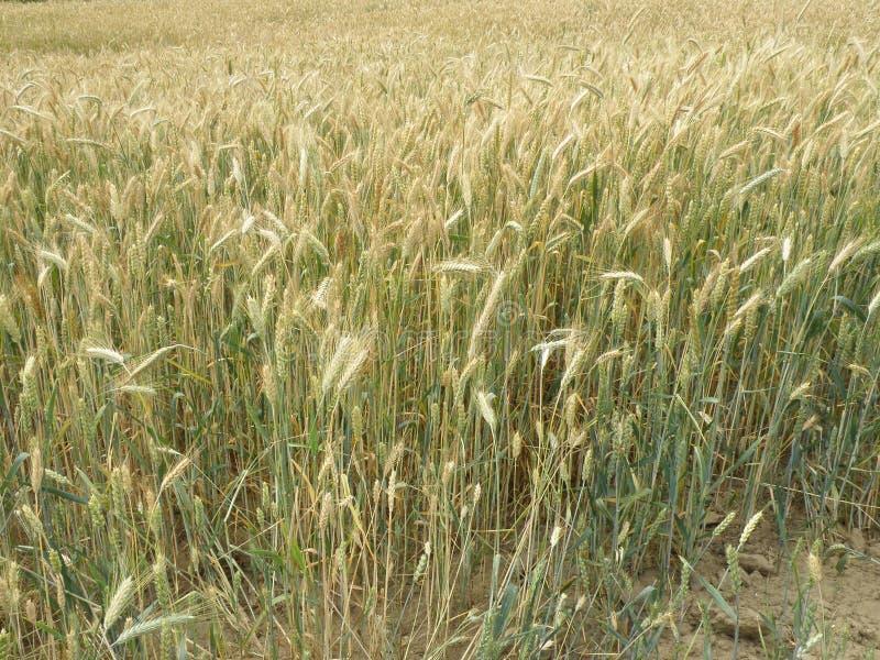 Giacimento di grano e Soild o terra immagini stock