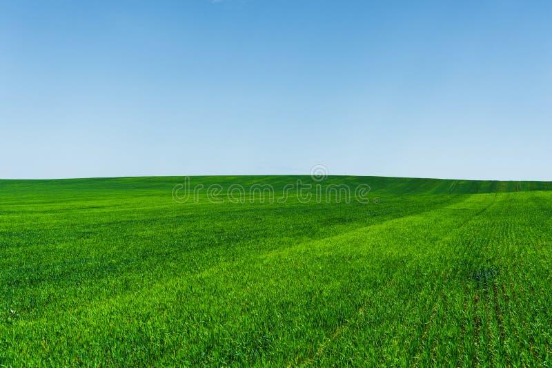 Giacimento di grano ed ideale verdi freschi del cielo blu per il fondo della natura immagine stock libera da diritti