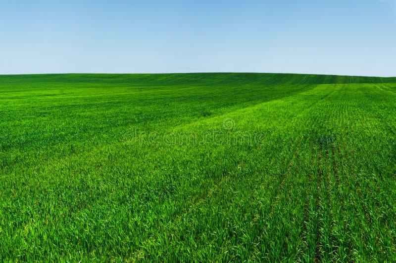 Giacimento di grano ed ideale verdi freschi del cielo blu per il fondo della natura fotografia stock libera da diritti