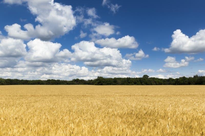 Giacimento di grano giallo dorato luminoso sotto cielo blu e le nuvole profondi immagine stock
