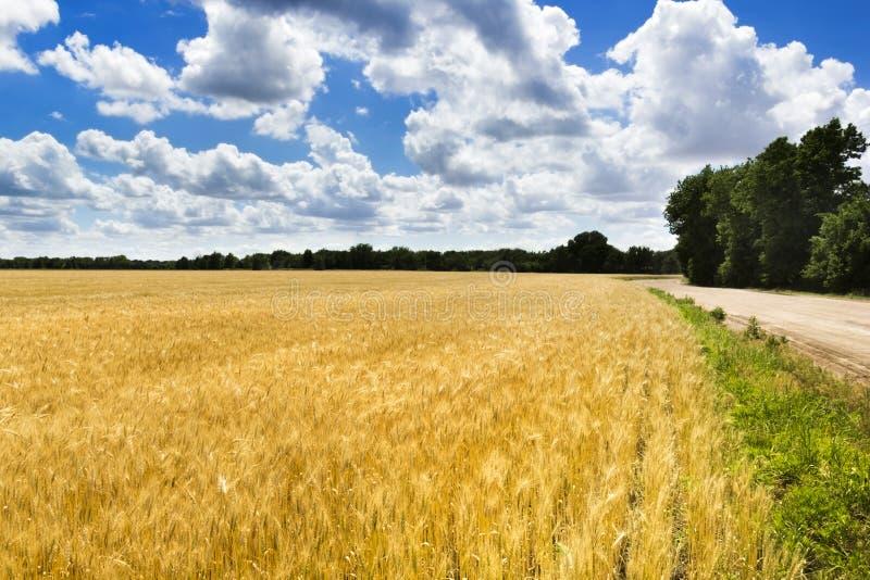 Giacimento di grano giallo dorato luminoso sotto cielo blu e le nuvole profondi fotografia stock libera da diritti