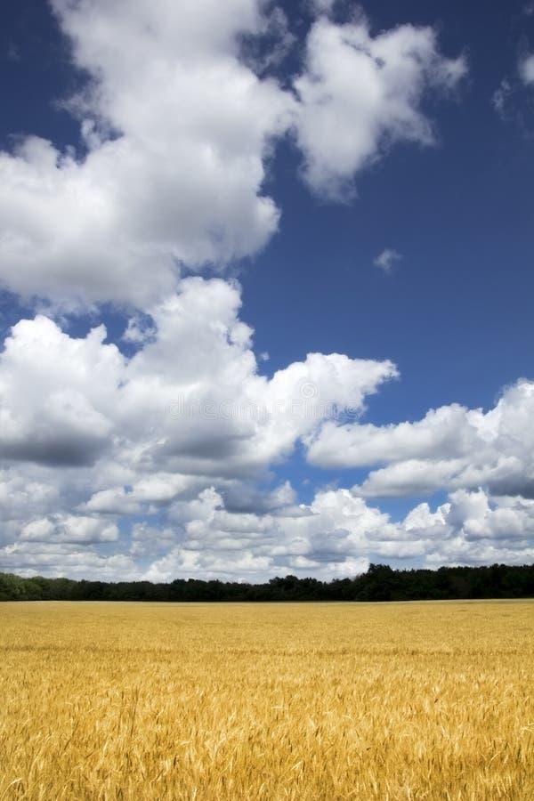 Giacimento di grano giallo dorato luminoso sotto cielo blu e le nuvole profondi fotografie stock libere da diritti